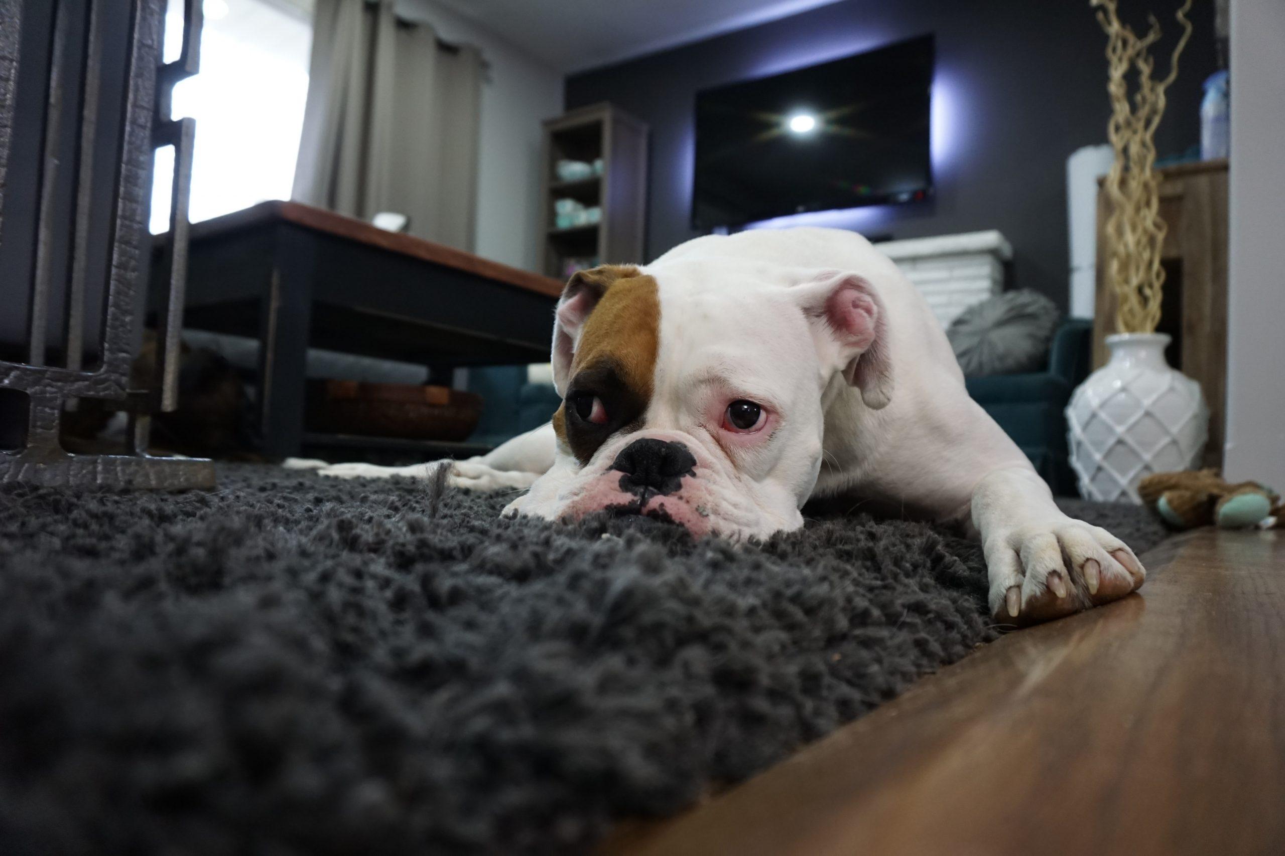 pranie dywanów metodą ekstrakcyjną - biały pies leży na czarnym brudnym od sierści dywanie